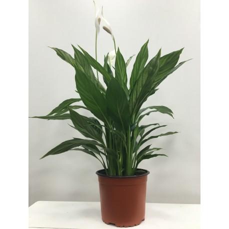 ESPATÍFILIO(spathiphyllum)